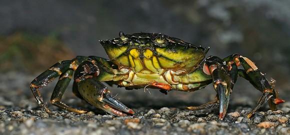 Krabbe. Foto: Øistein Winther