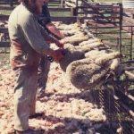 NOAH og PETA demonstrerte mot mulesing