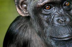 Sjimpanse.