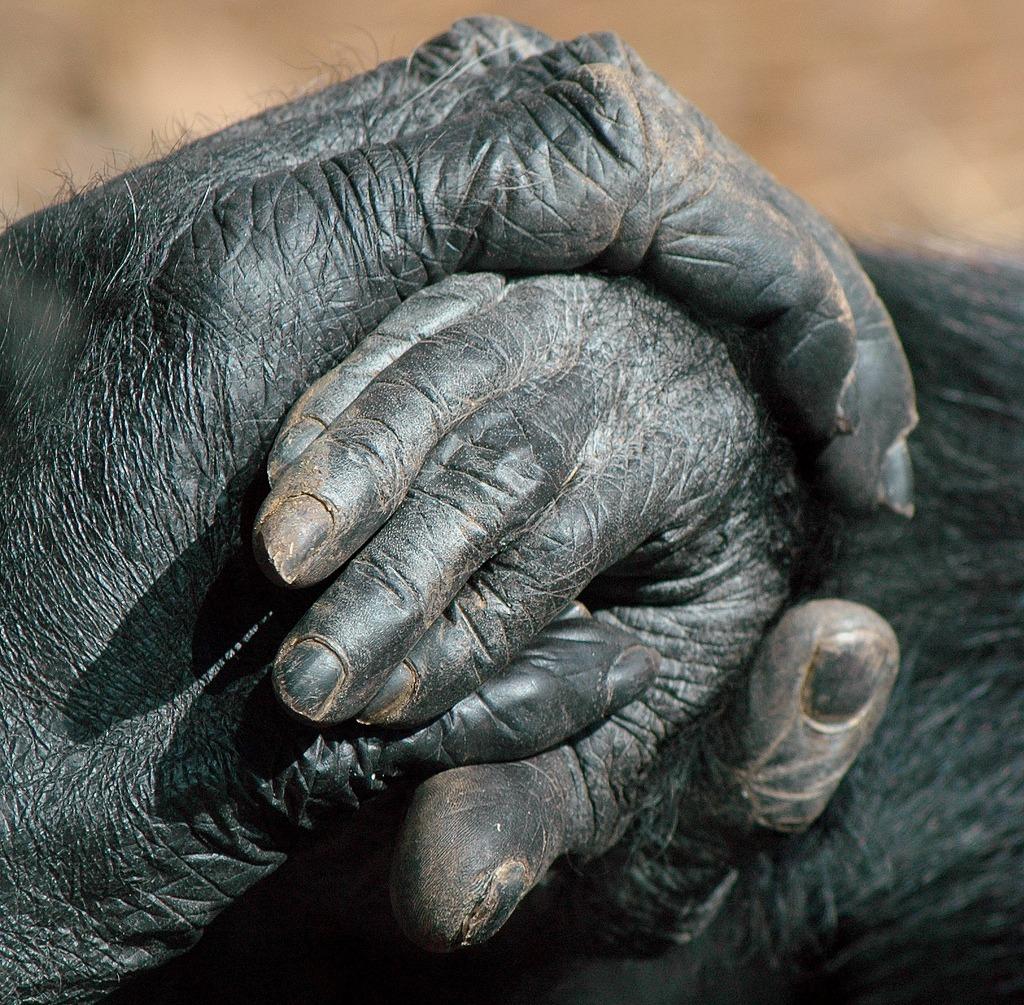 To gorillaers hender holder i hverandre.