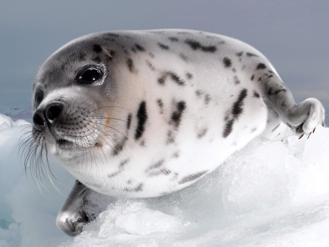 En sel ligger på isen tett mot kamera