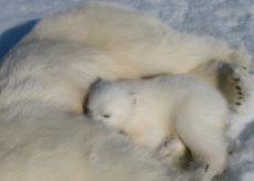 Isbjørnunge dier mor.
