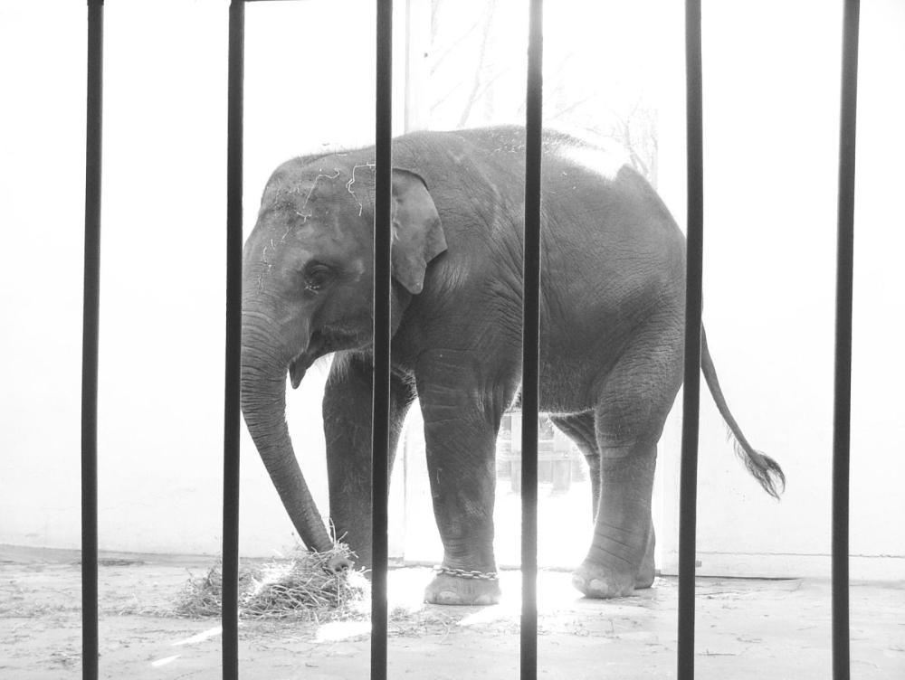 Elefant i dyrehage.