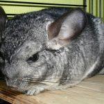 """Chinchilla – """"fjell-ekorn"""" i trange bur"""