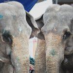 Flere land forbyr dyr på sirkus