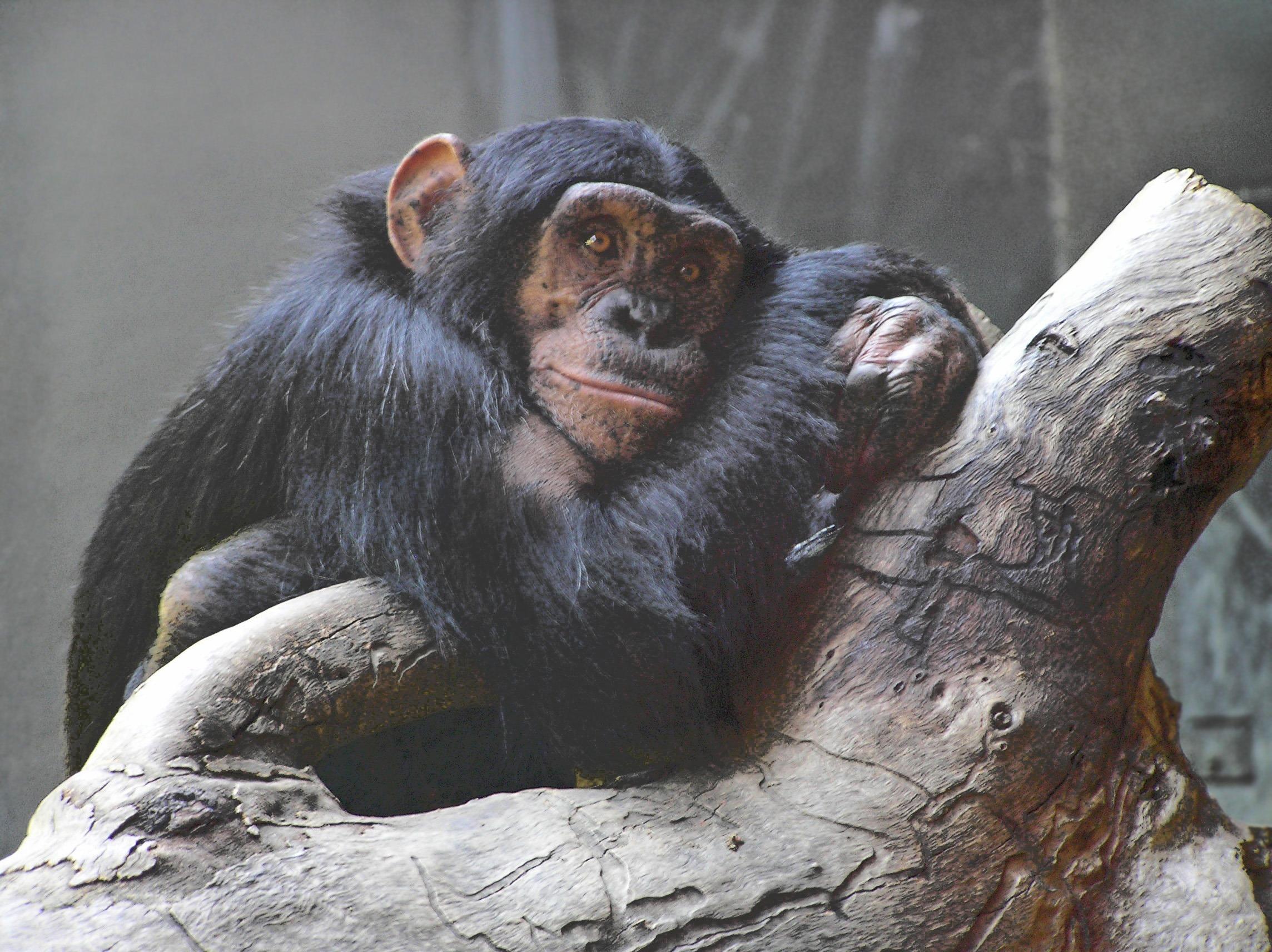 Sjimpanse i dyrehage.