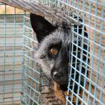 Kontakt landbruksministeren om pels