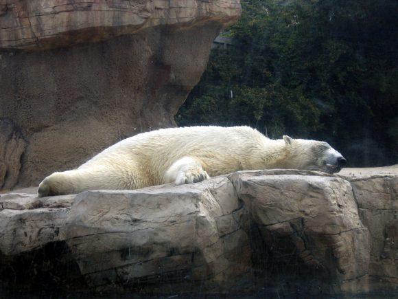 Isbjørn i zoo.