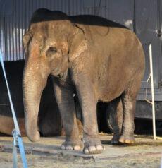 Flere og flere kommuner tar nå avstand fra bruk av elefanter og andre eksotiske dyr i sirkus. Begge foto: NOAH
