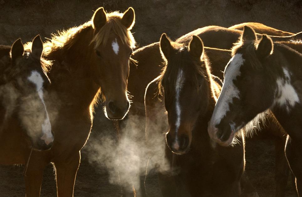 En hesteflokk står med hodene sammen tidlig om morgenen.