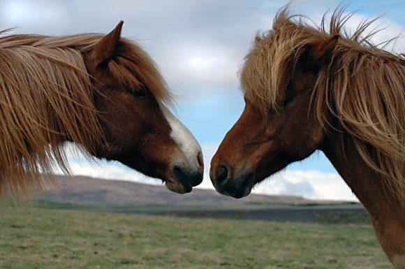 Hester snuser på hverandre