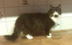 Nubis, en to år gammel hannkatt.