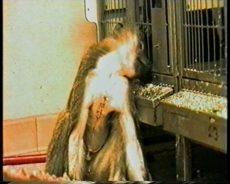 Syk bavian i dyreforsøk, xenotransplantasjon
