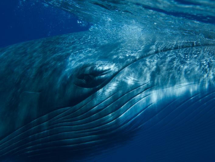 Nærbilde av ansiktet til en hval som svømmer i blått hav.