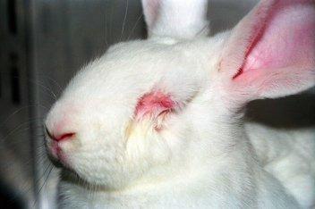 En kanin med betente røde øyne i dyreforsøk