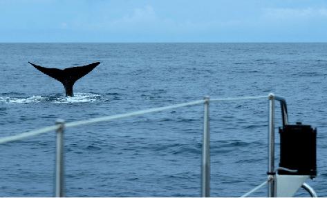 Bilde tatt fra fiskebåt. En hvalfinne som stikker opp fra havet.