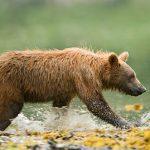 Vårslakt av bjørn på Kamcatkahalvøyen
