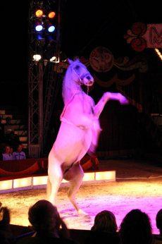 Hest på sirkus Merano