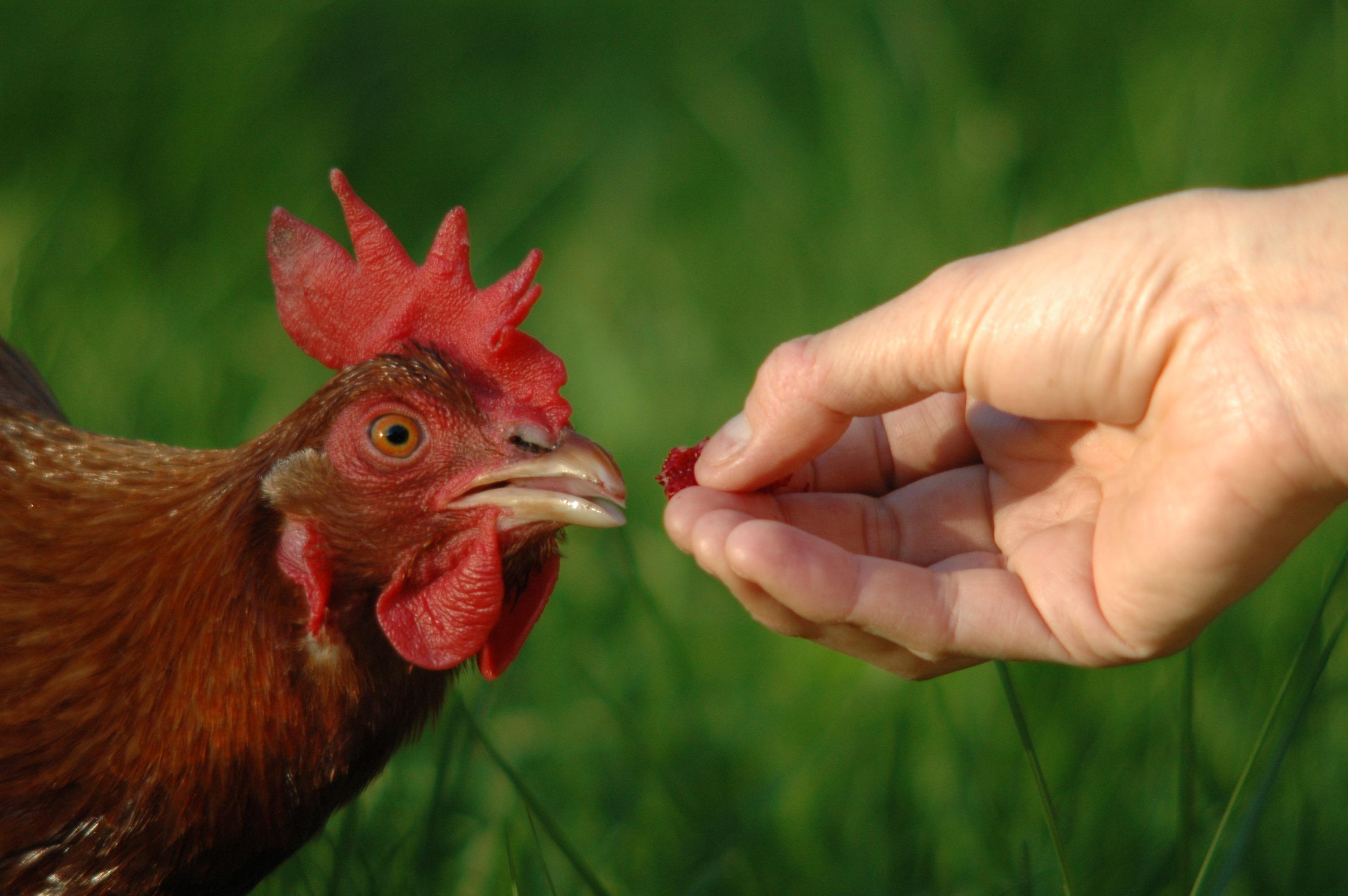 Bildet viser en hånd som mater en høne med bringebær
