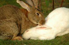Kaniner. Foto: NOAH