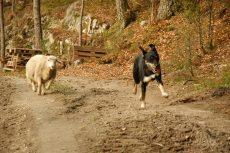 Sauen Magnus og hunden Emily. Foto : NOAH
