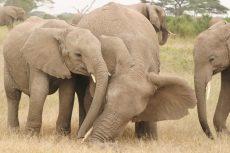 Elefantunger leker. Foto: Joyce Poole.