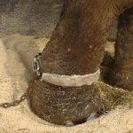 Informasjonsskriv: VKMs risikovurdering av dyr i sirkus