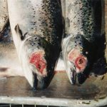 NOAH-kritikk mot fiskeoppdrett