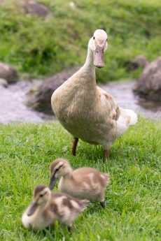 Mother Goose with two Chicks