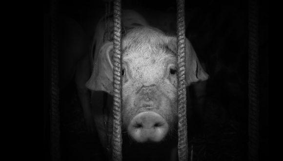 Gris bak gitter, kjøttindustri og fangenskap. Foto: NOAH