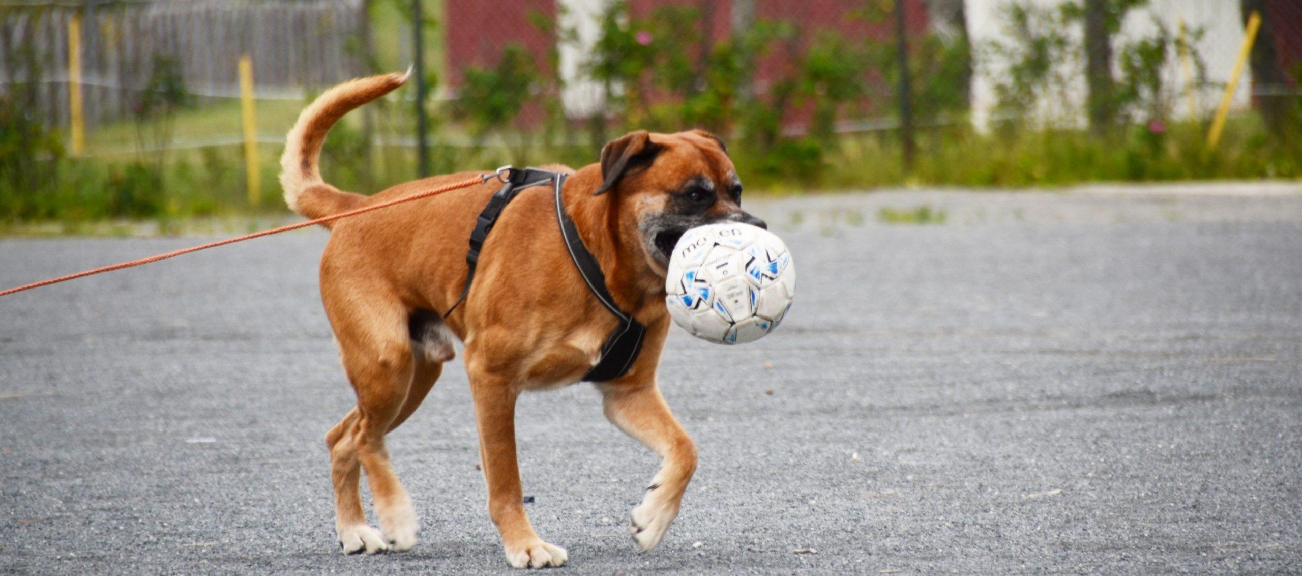 En hund som leker med en ball