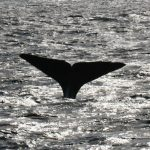 IWC: Ikke lenger hvalfangst i sentrum