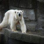 Nei til isbjørn og tiger i Polar Park