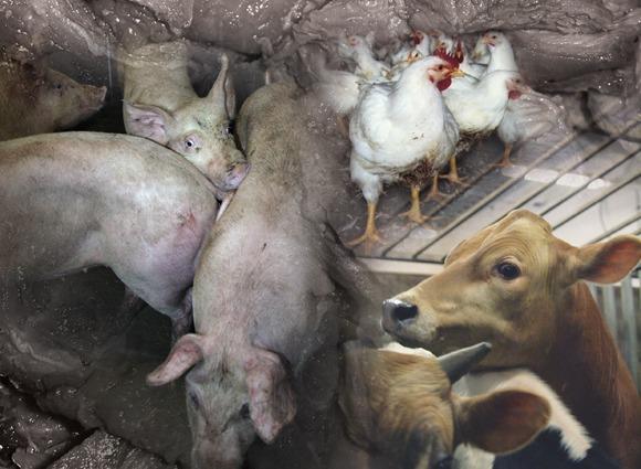 Collage av landbruksdyr: griser, kuer og høner.