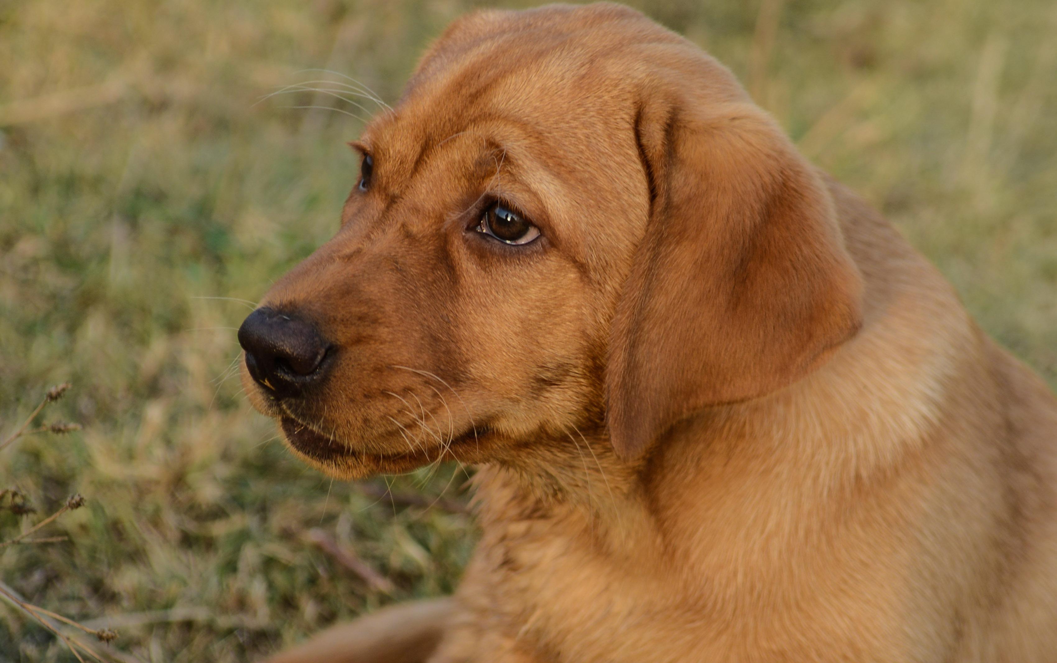 Klok-hund