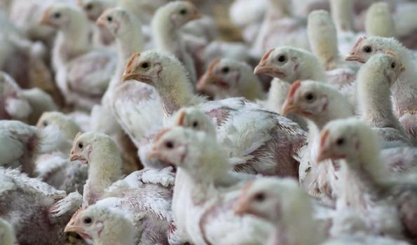 kyllinger presset sammen i kyllingfarm