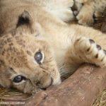 Løver reddes fra sirkus i Bolivia