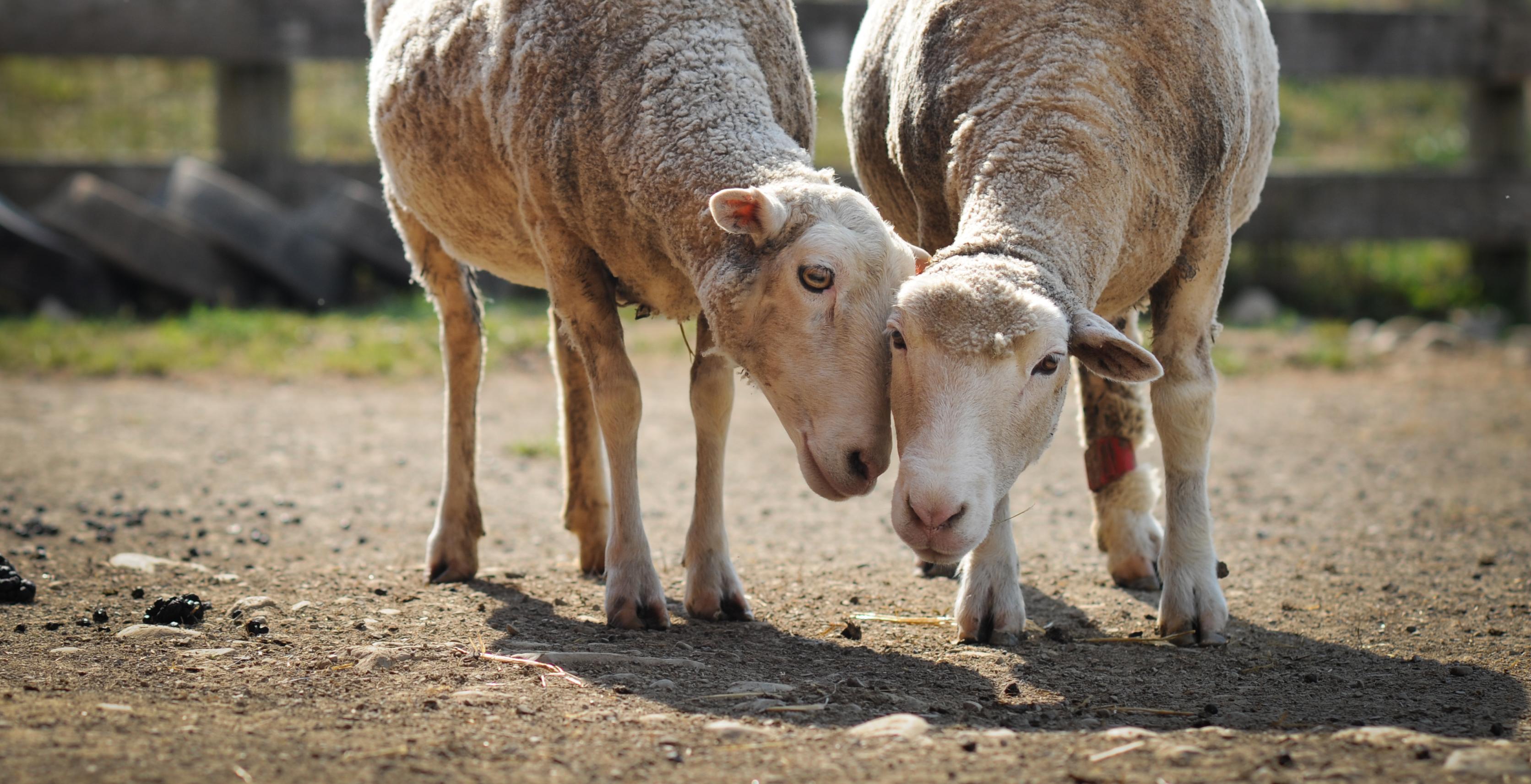 Bildet viser to sauer som står med hodene inntil hverandre og koser.