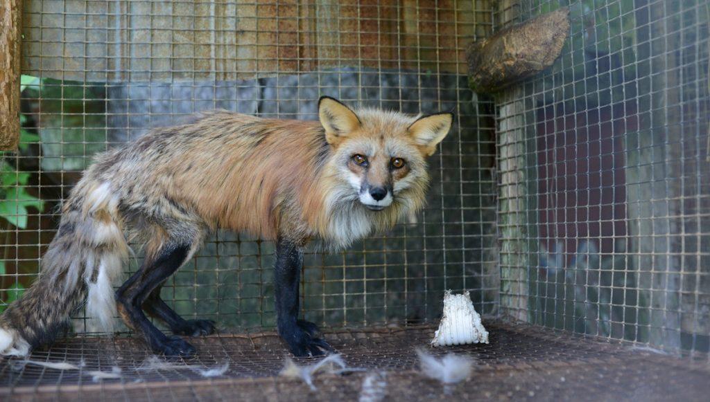 En rev er fanget i lite bur. Har mistet mye pels og er alt for tynn
