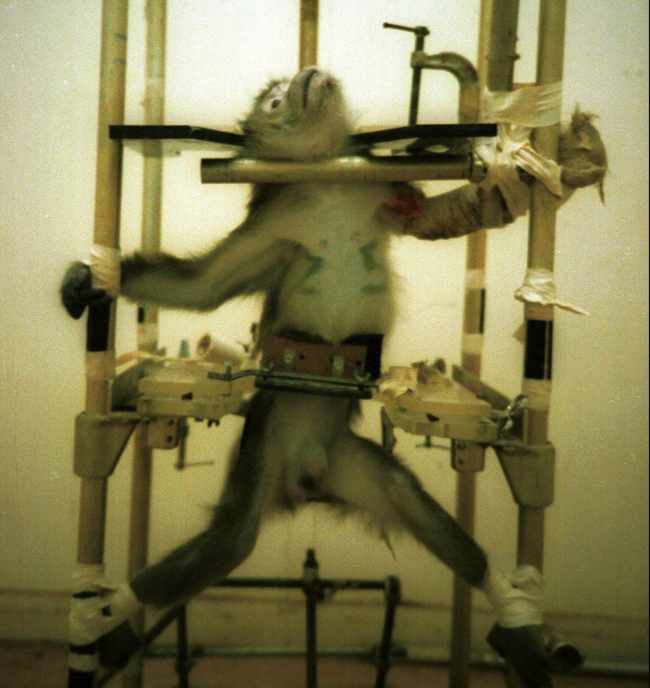 Silver-Spring-monkey, dyreforsøk med ape.