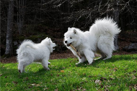 To samojedhunder leker i gresset.
