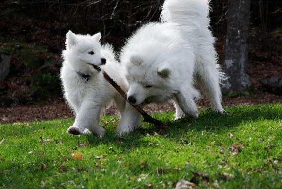 To hvite hunder leker med en pinne.