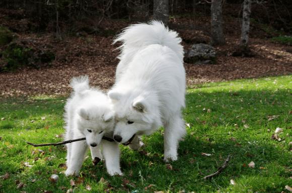 En valp og en voksen hund leker med pinne.