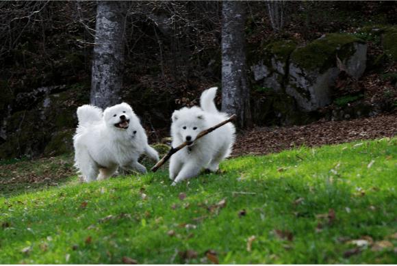 En hund løper avgårde med en pinne, og en annen hund løper etter.