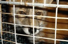 Rev i fangenskap på pelsfarm