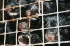 Mink i fangenskap på pelsfarm