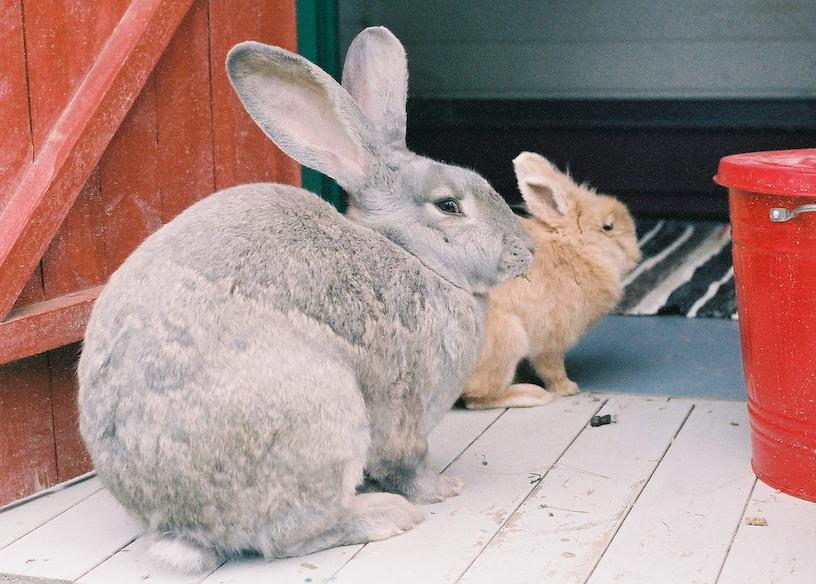 Mange er klar over det store antallet hjemløse katter i Norge. Men det er også et stort antall andre dyr som trenger et hjem. Her er to av de mange kaninene Dyrebeskyttelsen Norge har hjulpet.