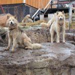 Sjokkerende mishandling av sledehunder på Grønland