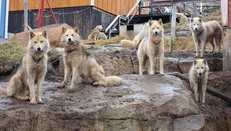 Sledehunder lenket på Grønland