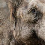 Engelsk sirkus dømt for elefantvold